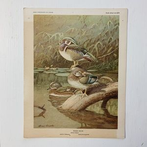 Vintage • Wood Duck Bird Print